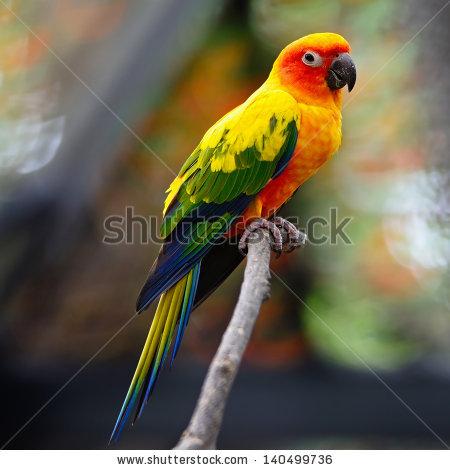 Beautiful Colorful Parrot Sun Conure Aratinga Stock Photo.