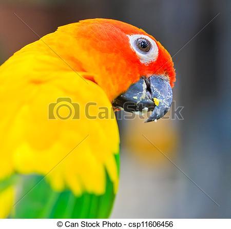 Stock Images of aratinga solstitialis bird csp11606456.