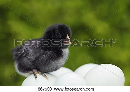 Stock Photography of Five day old Araucana chick on unhatched eggs.