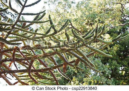 Stock Photo of branch of araucaria araucana tree in autumn.