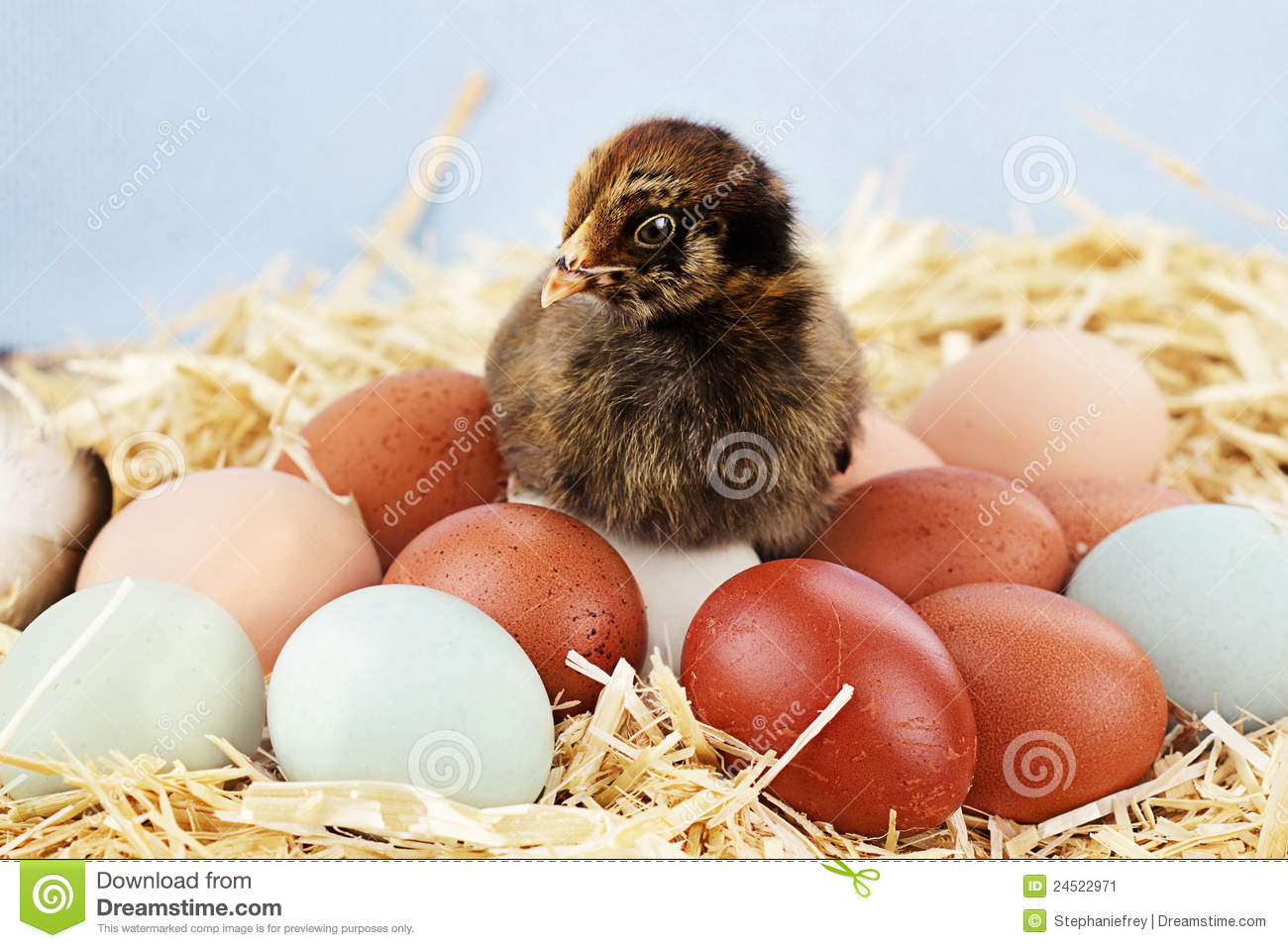 Araucana Chick And Eggs Stock Image.