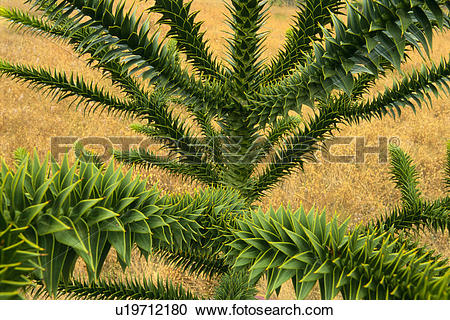 Stock Photography of Araucaria tree, Araucaria araucana, native to.