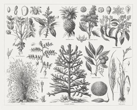 Araucaria Araucana Clip Art, Vector Images & Illustrations.