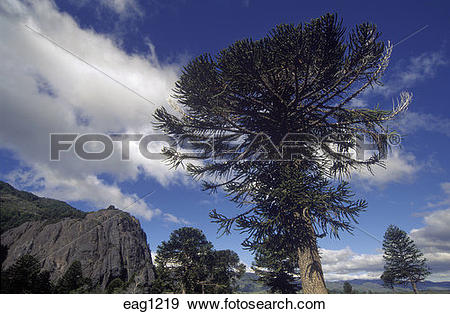 Stock Photograph of ARAUCARIA TREES (Araucaria Araucana) in LANIN.