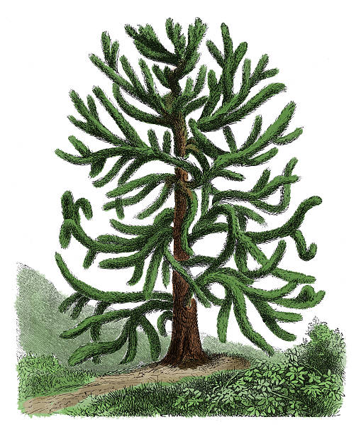 Araucaria Araucana Clip Art, Vector Images & Illustrations.
