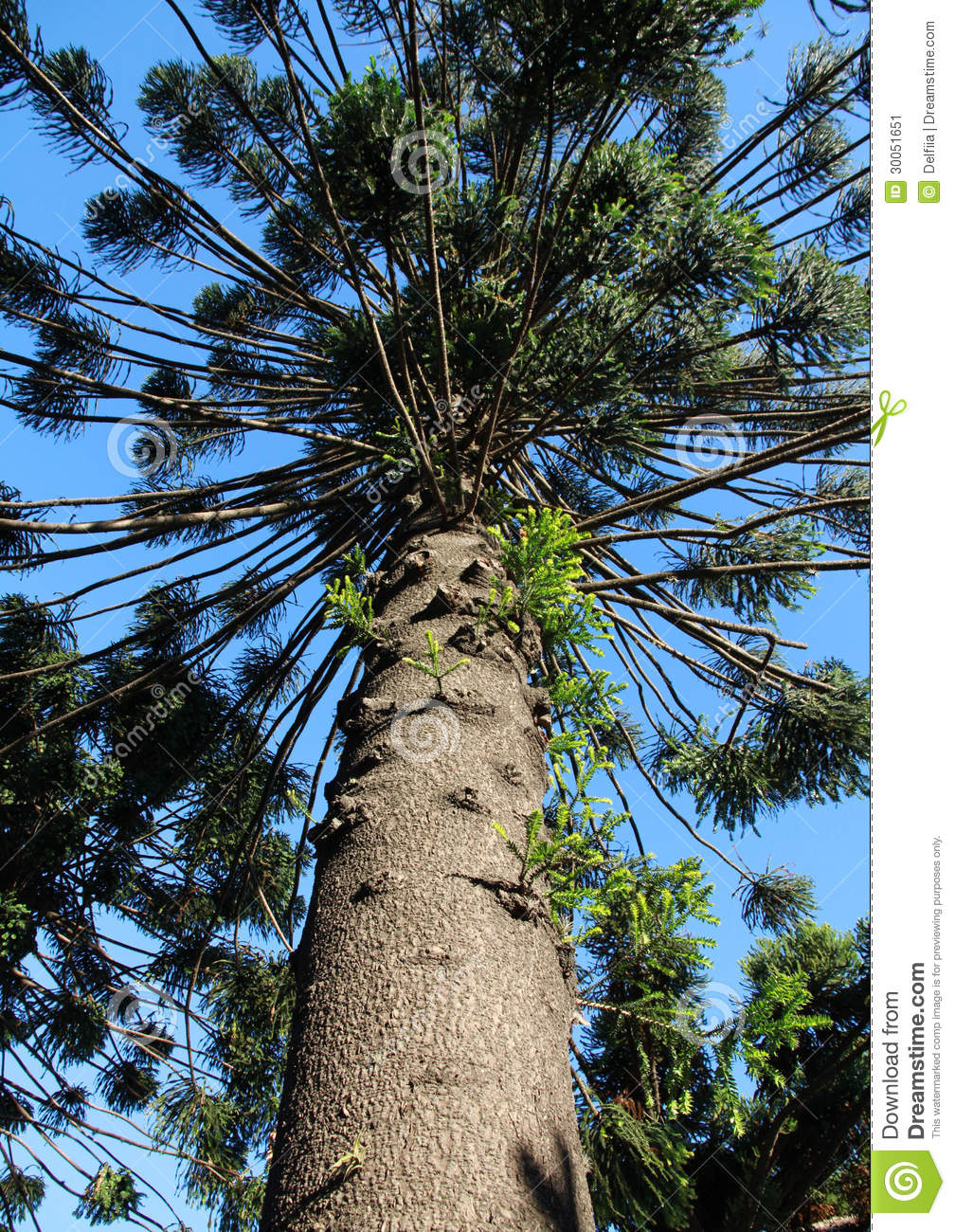 High Evergreen Coniferous Tree. Araucaria Araucana. Stock Image.