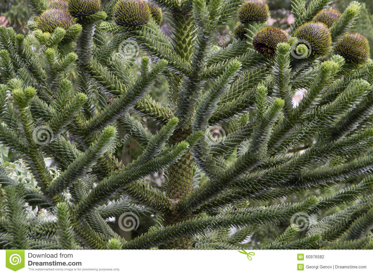 Araucaria Araucana Stock Photo.
