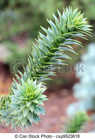 Pictures of Close up of Araucaria araucana.