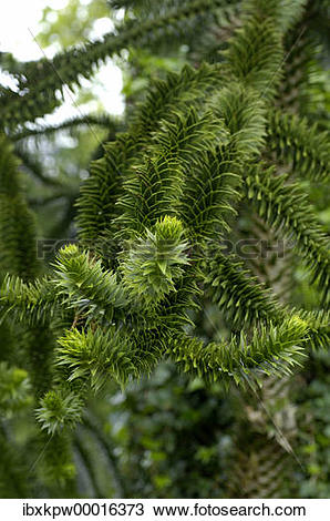 Stock Photo of Twigs of an Araucaria Araucaria araucana.