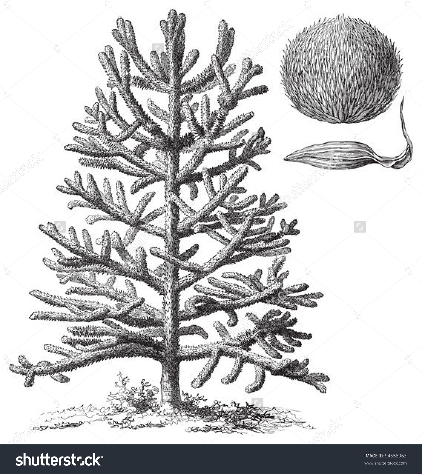 Monkeypuzzle Tree Araucaria Araucana Vintage Illustration Stock.