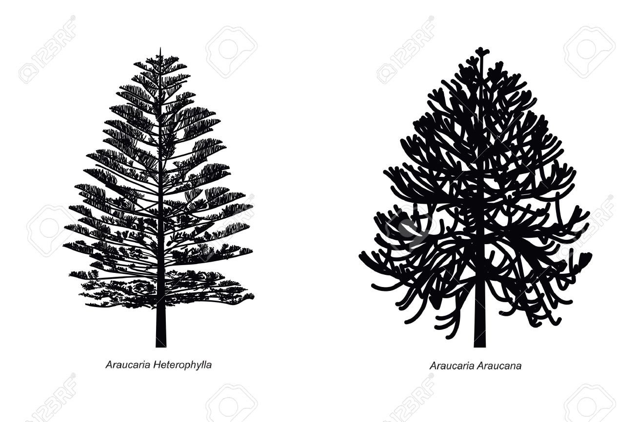 Two Different Araucaria Species Illustration Royalty Free Cliparts.