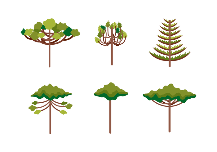 Araucaria Illustration.