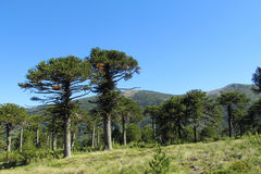 Araucaria Stock Photos, Images, & Pictures.