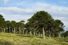 Araucaria Trees Forest Stock Photo.