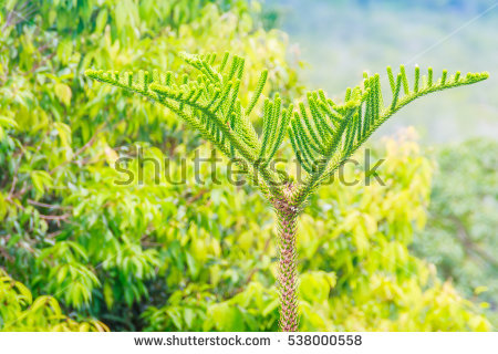 Araucariaceae Stock Photos, Royalty.