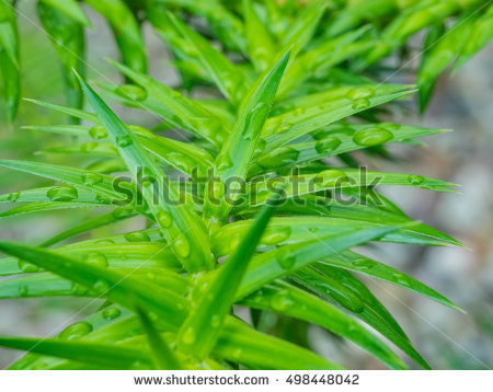 Araucaria Stock Photos, Royalty.