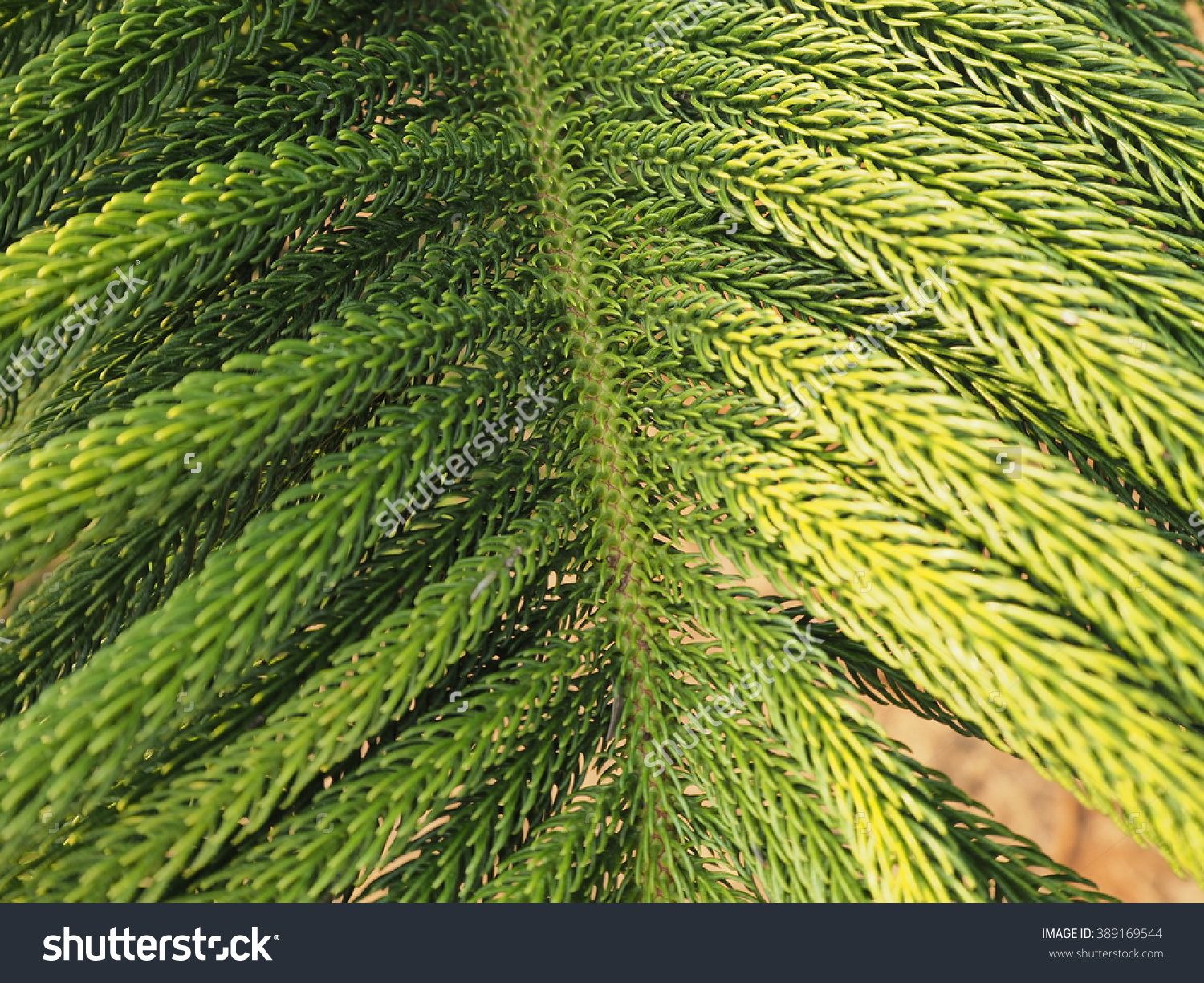 Araucaria Heterophylla Norfolk Island Pine Closeup Stock Photo.