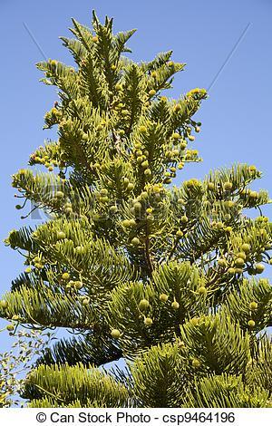Stock Image of Araucaria heterophylla.