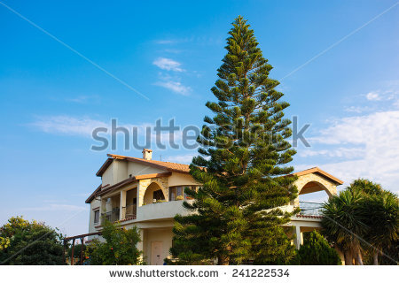 "Araucaria heterophylla """" Stock Photos, Images, & Pictures."
