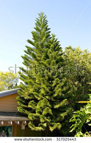 Norfolk Island Pine Stock Photos, Royalty.
