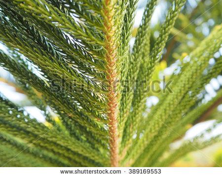 Araucaria Heterophylla Norfolk Island Pine Closeup Stock Photo.