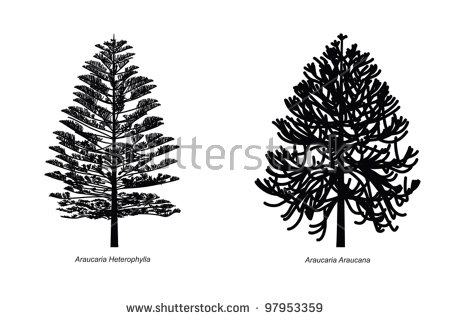 Araucaria Heterophylla Stock Vectors & Vector Clip Art.