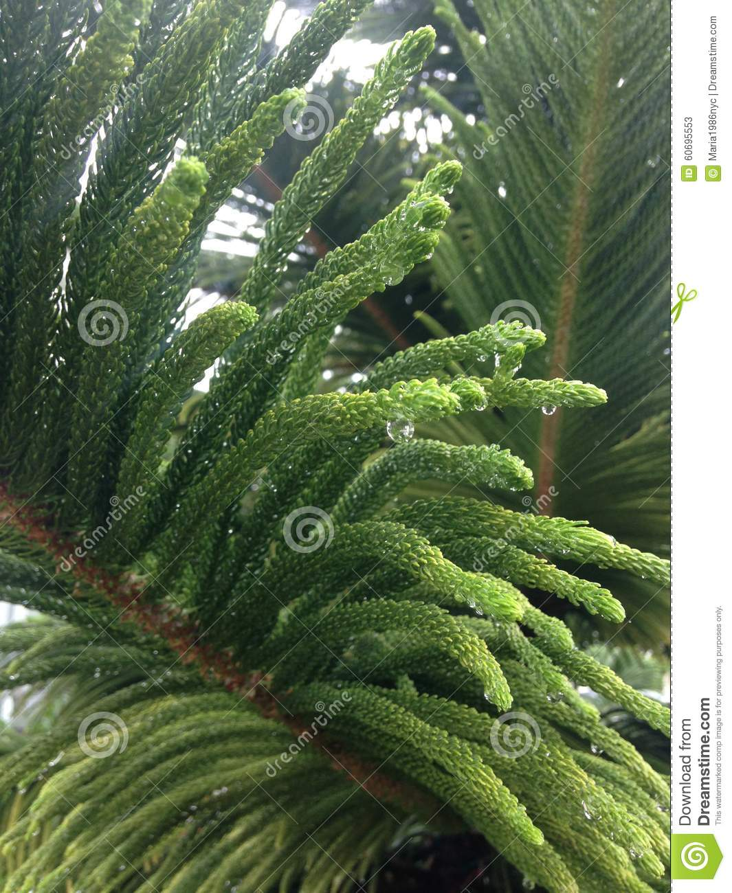Araucaria Heterophylla Tree With Water Drops After Rain In Miami.
