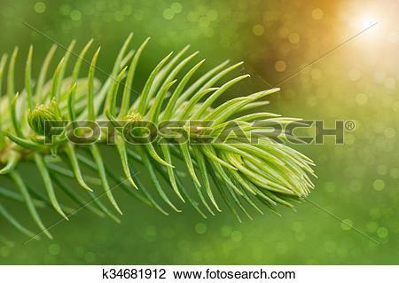 Stock Photo of Araucaria heterophylla.