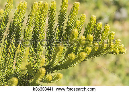 Stock Photography of Araucaria heterophylla Leaf, Araucaria.