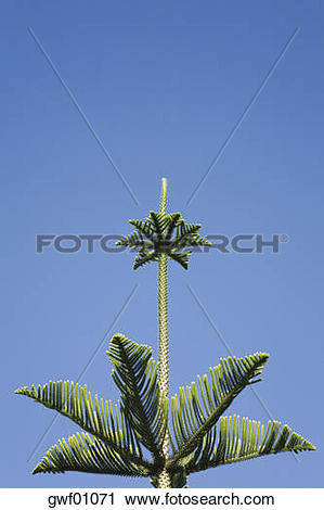 Stock Photography of New Zealand, Norfolk Pine Tree (Araucaria.