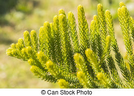 Stock Photos of Araucaria excelsa. Exotic evergreen conifer.