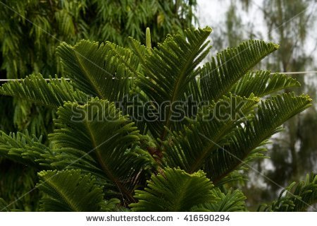 Norfolk Pine Tree Stock Images, Royalty.