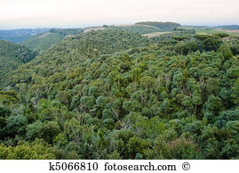 Araucaria Stock Photo Images. 447 araucaria royalty free pictures.