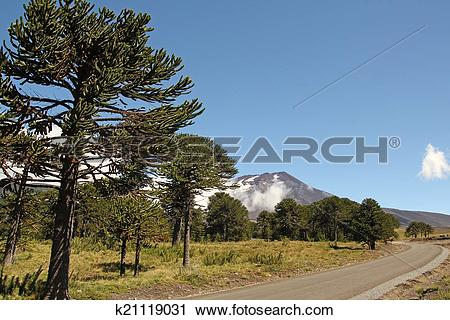 Stock Photography of Araucaria, symbol of Chile k21119031.