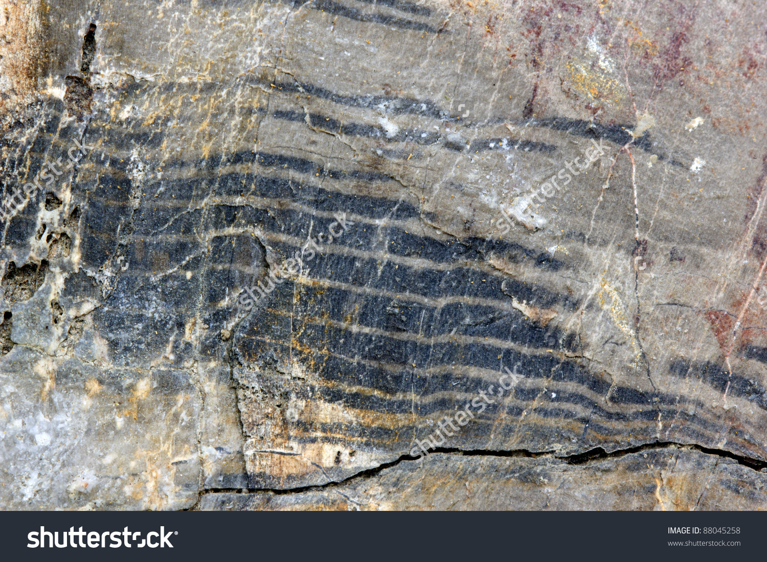 Fossil Growth Rings In A Petrified Tree Trunk (Genus.