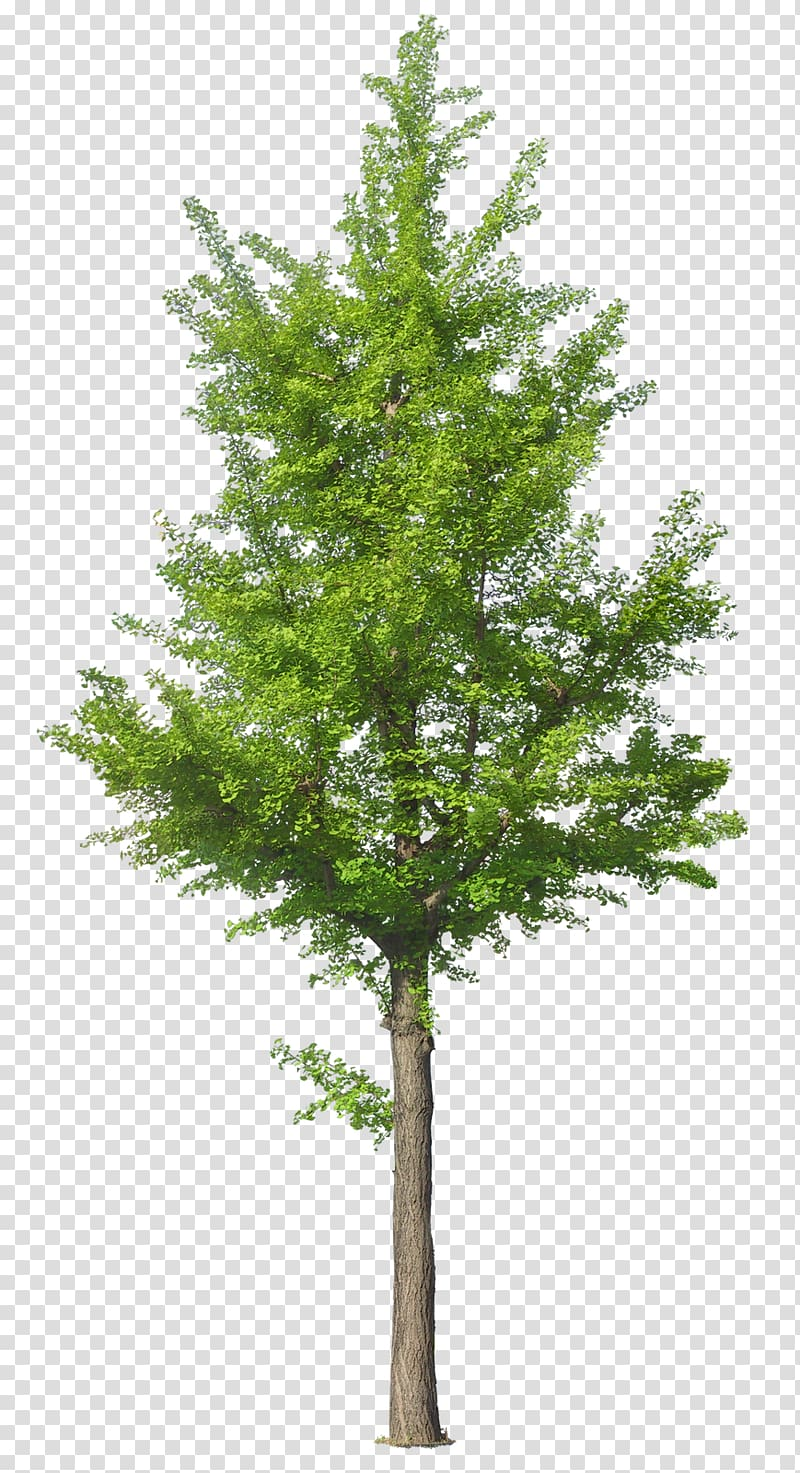 Green tree , Tree , arbol transparent background PNG clipart.