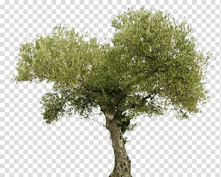 Illustration of green leafed tree, Tree Olive oil Arahal Food, arbol.