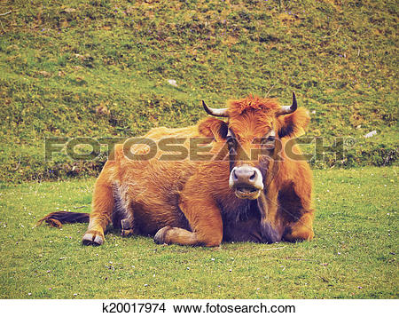 Stock Photo of Brown Cow in La Arboleda near Bilbao k20017974.