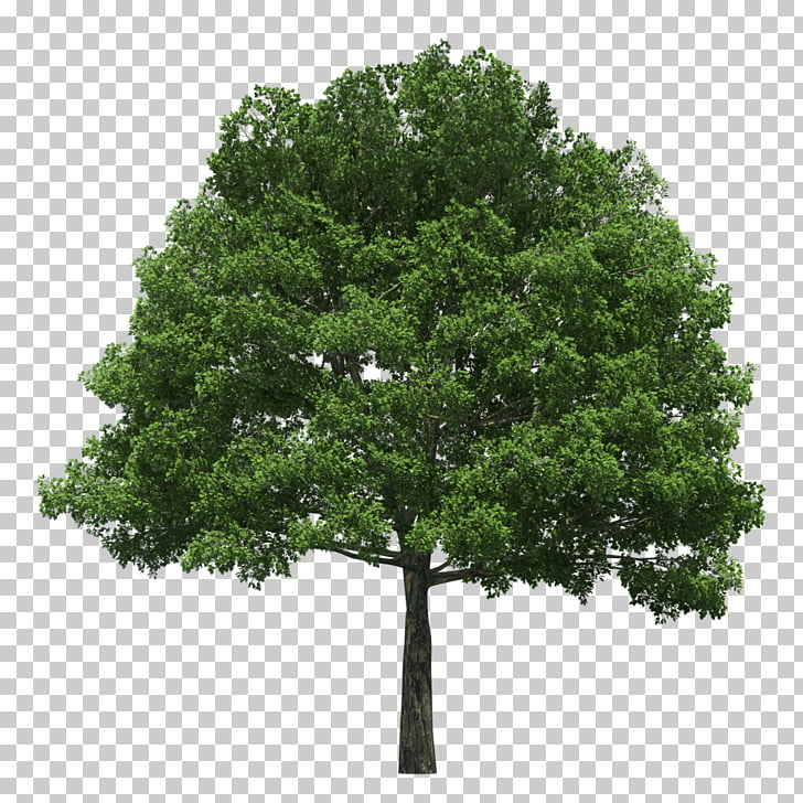 Evergreen Tree planting Arborist Arbor Day, tree PNG clipart.