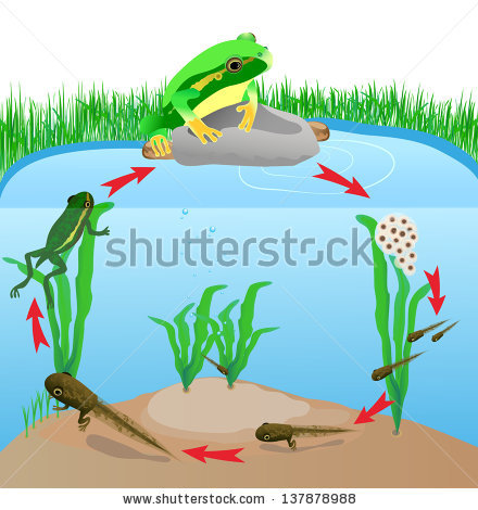 Frog Life Cycle Stock Photos, Royalty.