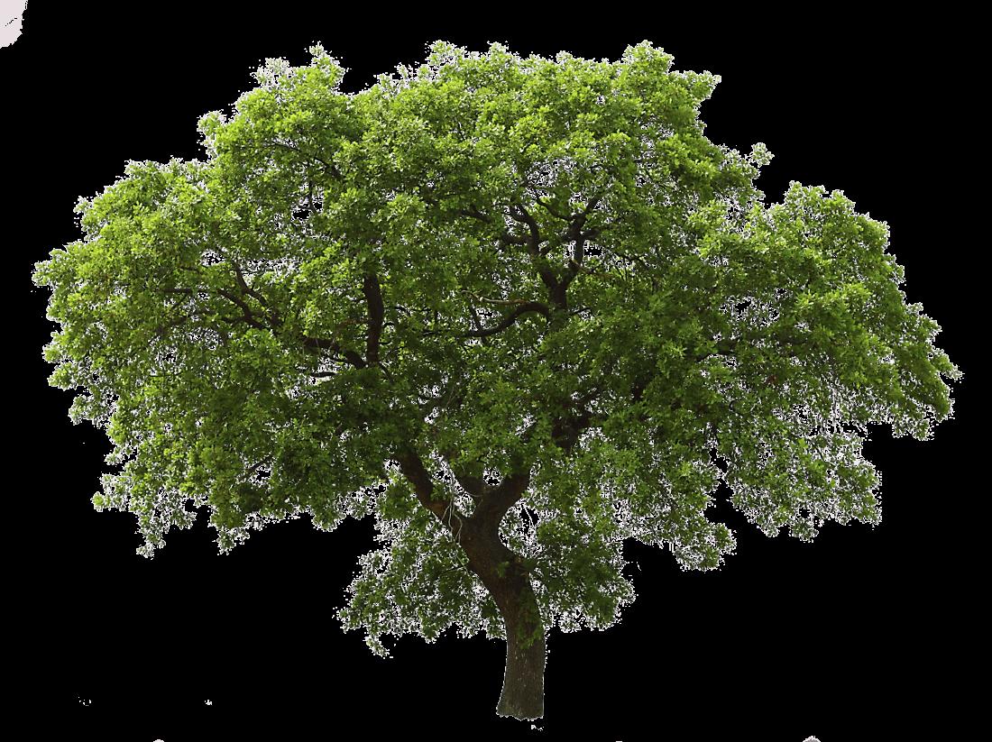 Un arbre vert PNG transparents.