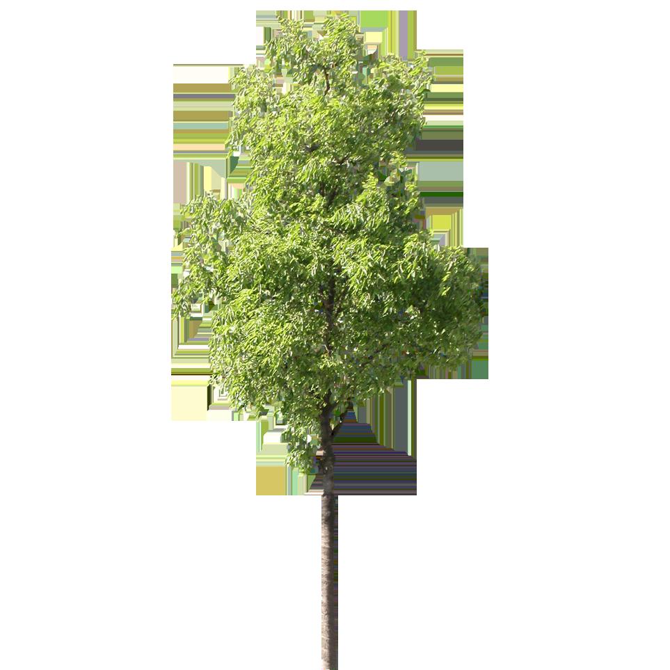 arbre détouré.