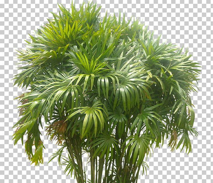 Arecaceae Plant Areca Palm Tree PNG, Clipart, Arbusto, Arecaceae.