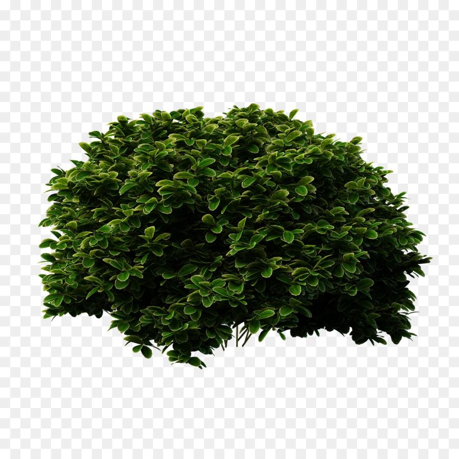 Arbusto, Los Arbustos, Descargar imagen png.