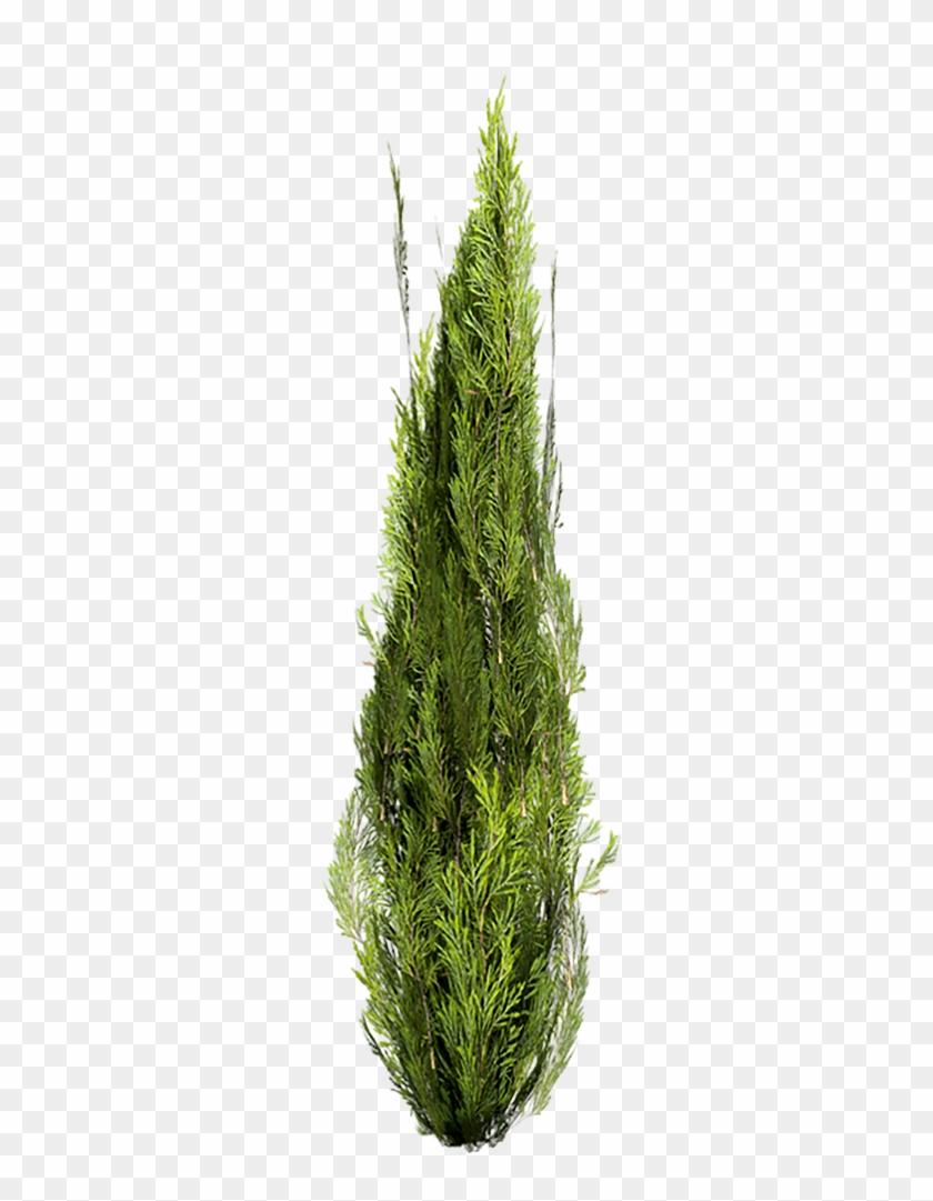 Cutout Cypress.
