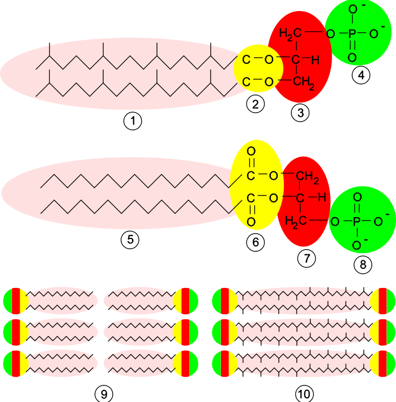 Free Clipart: Archaea Membrane.