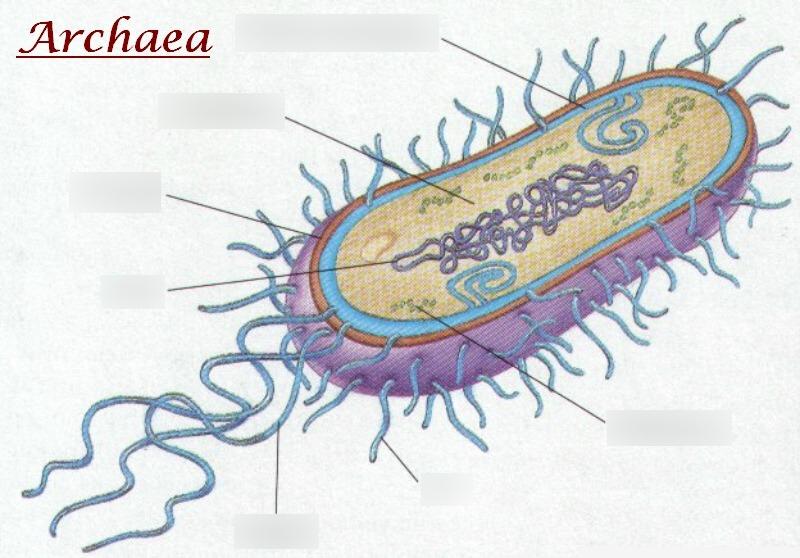 Archaea Diagram.