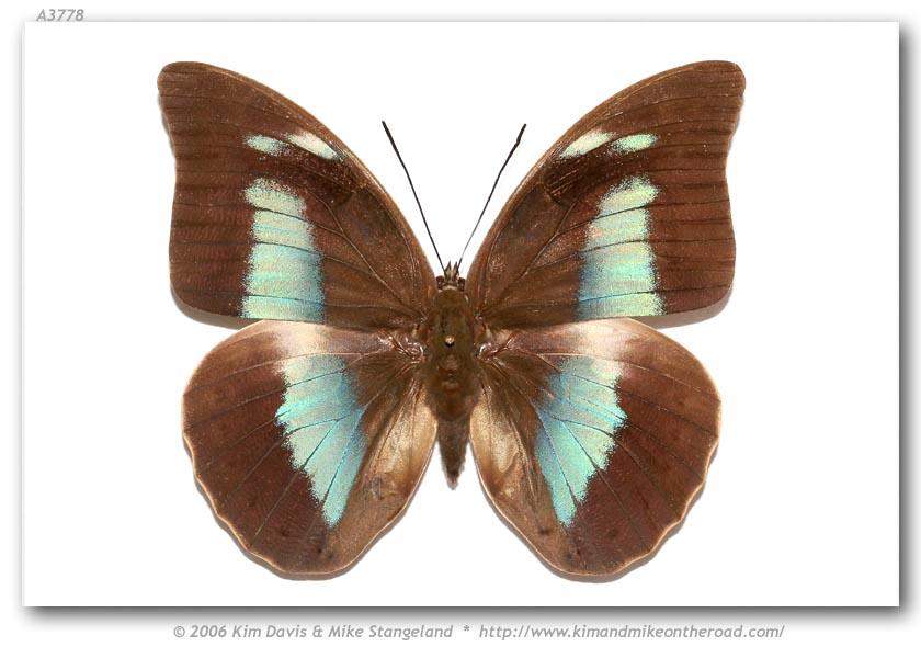 Archaeoprepona demophoon gulina (Fruhstorfer, 1904).