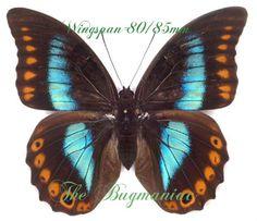 Saturnidae : Dirphia araucariae PAIR.