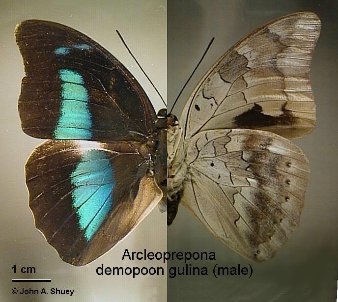 Archaeoprepona.